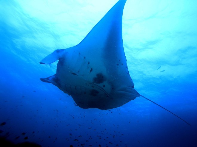 The best snorkeling in the world luxagraf writing for Types of ray fish
