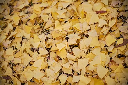 Yellow Ginko leaves on grass photographed by luxagraf