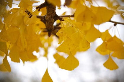 Yellow Ginko leaves hanging from branches photographed by luxagraf