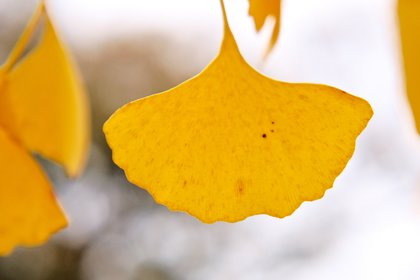 single yellow ginko leaf close-up photographed by luxagraf
