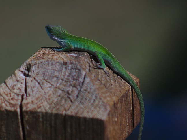 green anole, fargo ga photographed by luxagraf