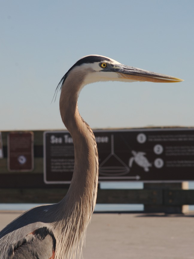 Great Blue Heron photographed by luxagraf