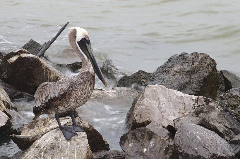brown pelican photographed by luxagraf