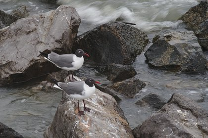 laughing gulls photographed by luxagraf