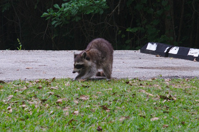 raccoon, davis bayou photographed by luxagraf