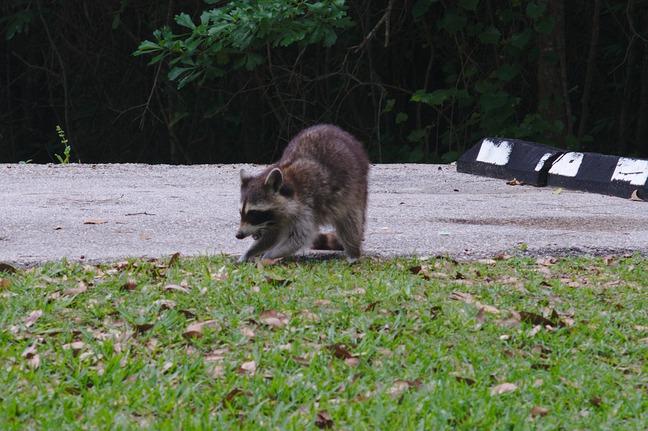 raccoon, davis bayou photographed by luxagraf