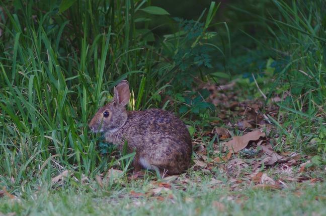 rabbit, davis bayou photographed by luxagraf