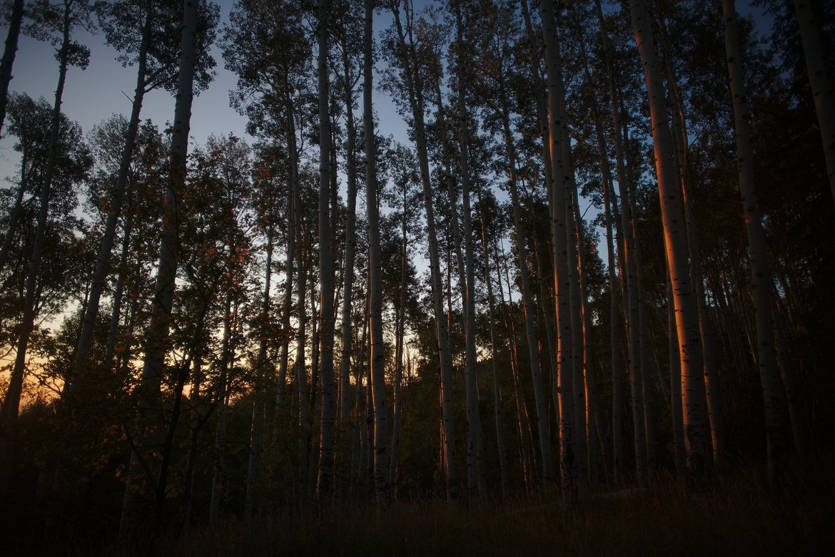 Aspen grove evening light photographed by luxagraf
