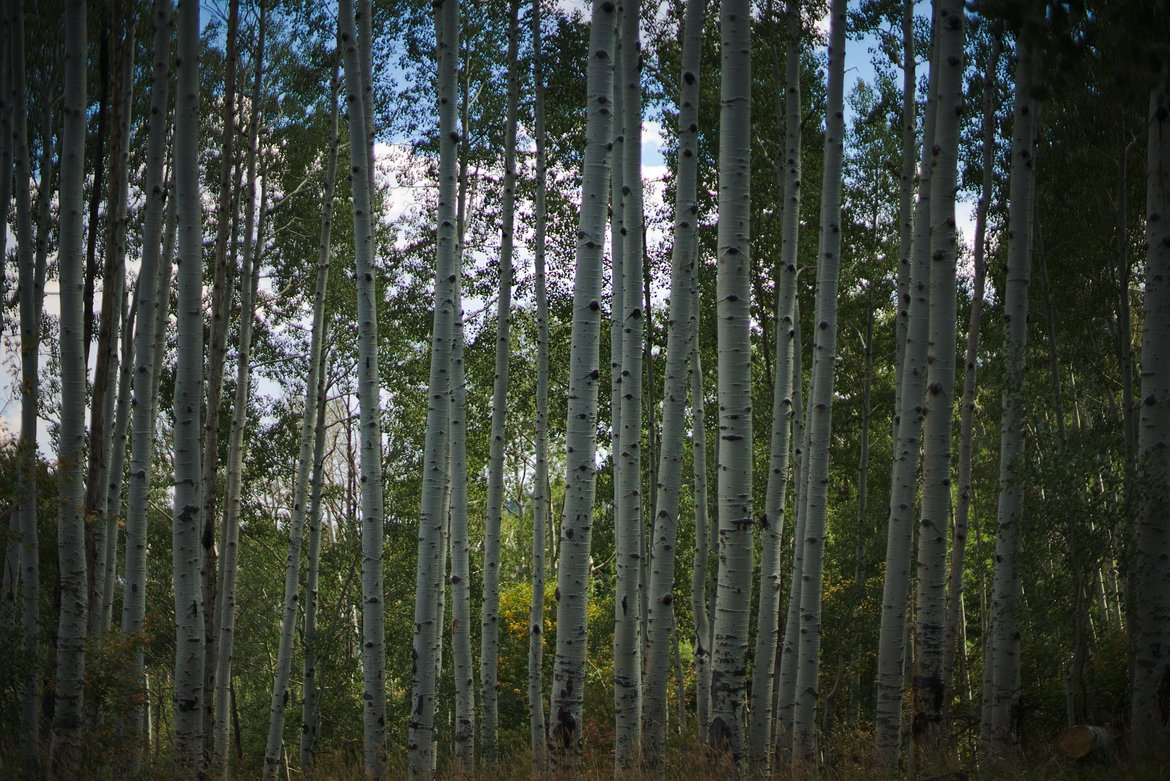 Aspen grove midday light photographed by luxagraf
