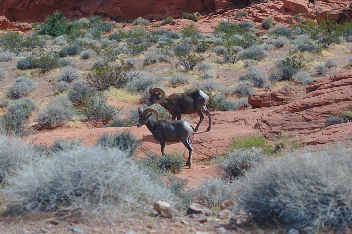 Desert Big Horn Sheep, Valley of Fire State Park photographed by luxagraf