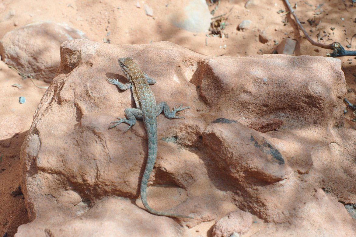Lizard, Valley of Fire State Park photographed by luxagraf