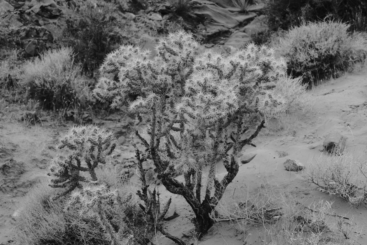 Cholla cactus, Valley of Fire photographed by luxagraf