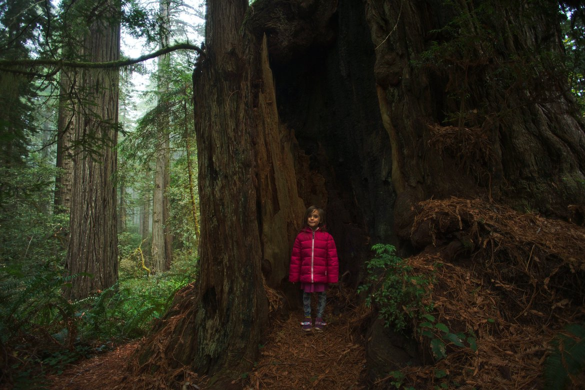 redwood trees photographed by luxagraf
