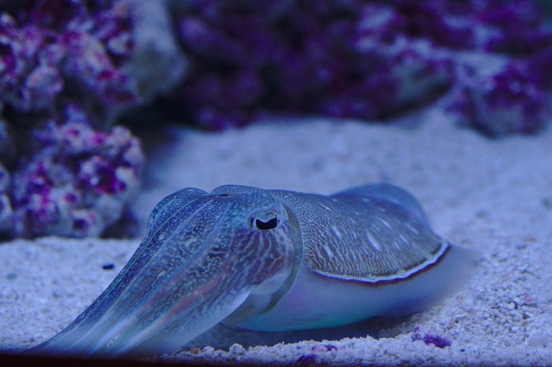 squid, monterey aquarium photographed by luxagraf
