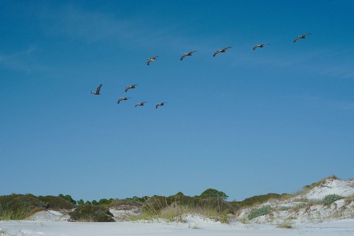 Pelicans, Topsail State Beach, Florida photographed by luxagraf
