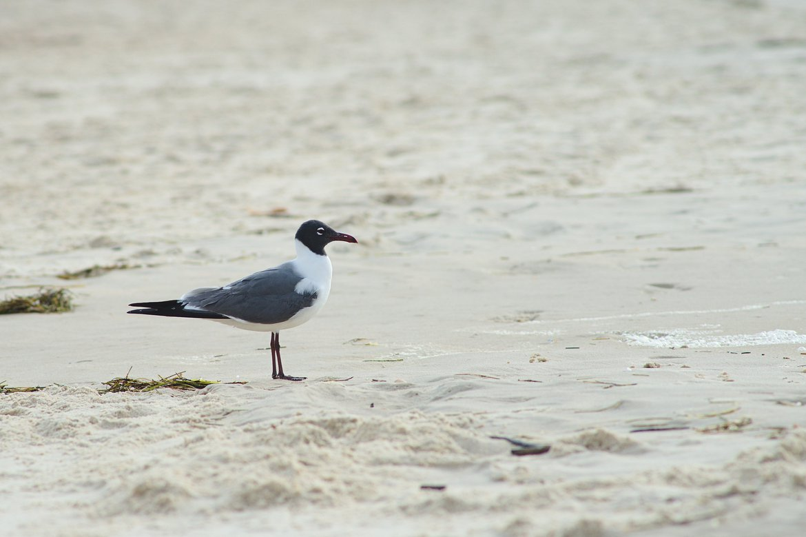 Laughing Gull, St George Island, FL photographed by luxagraf
