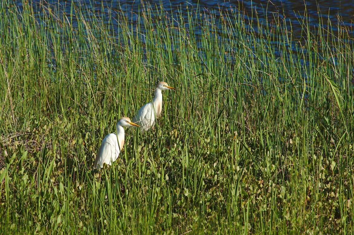 cattle egret, st george st park, fl photographed by luxagraf