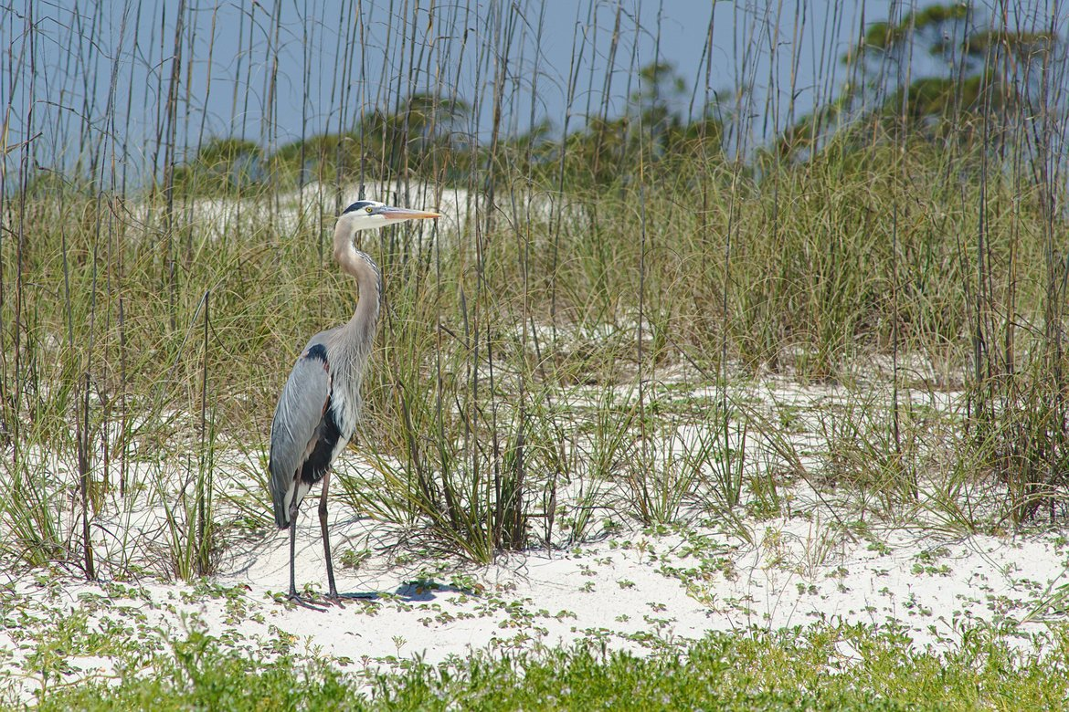 Great Blue Heron, St George state park, fl photographed by luxagraf