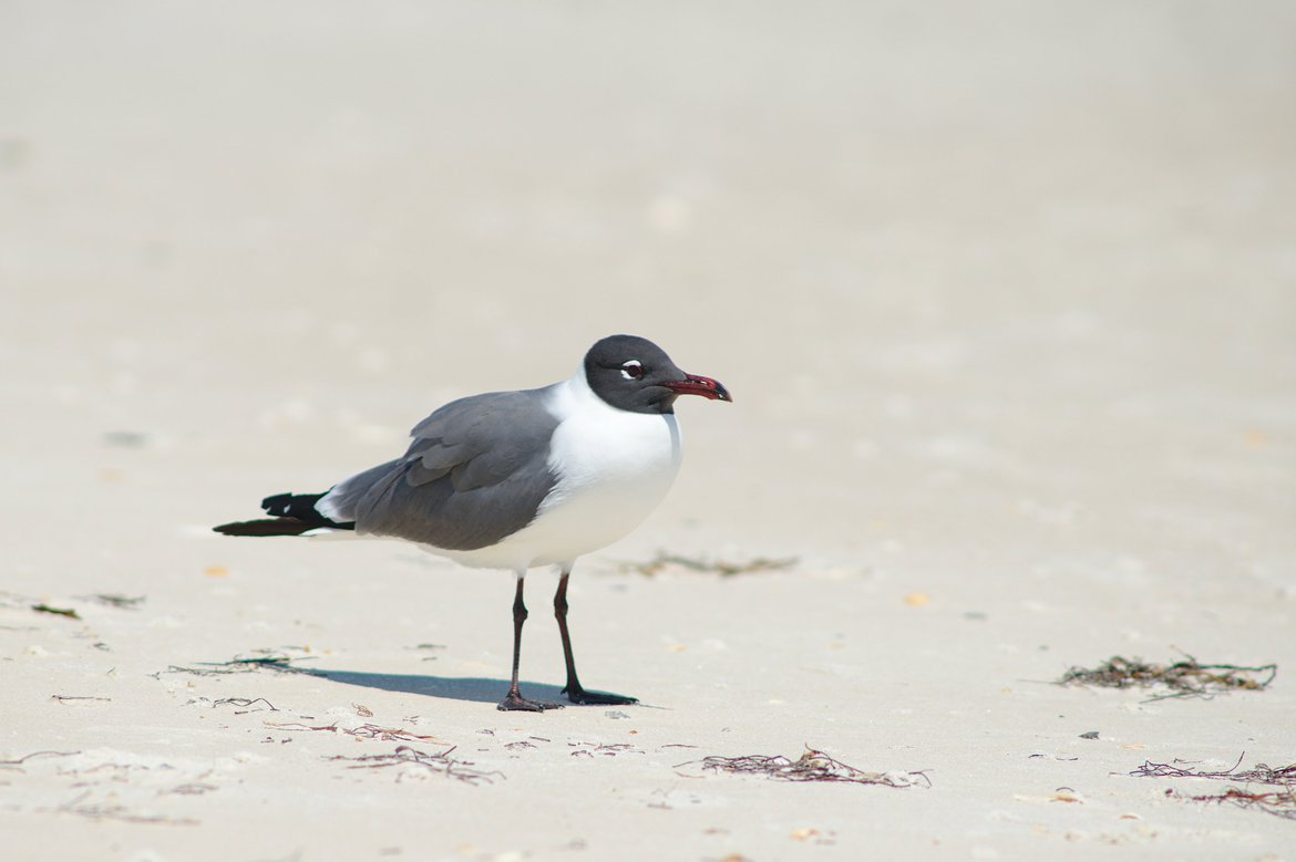 Laughing Gull, St George Island State Park, FL photographed by luxagraf