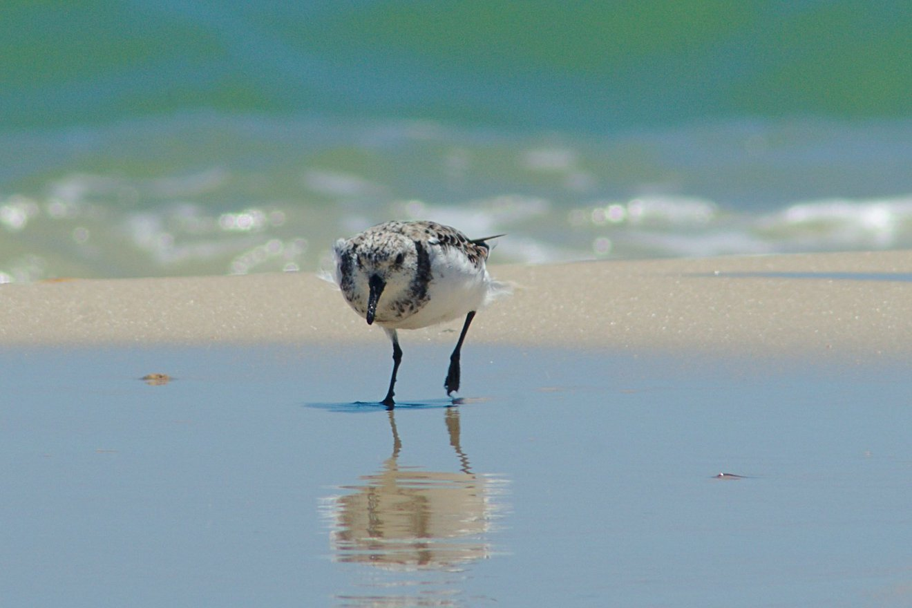 Sanderling, St George Island State Park, FL photographed by luxagraf