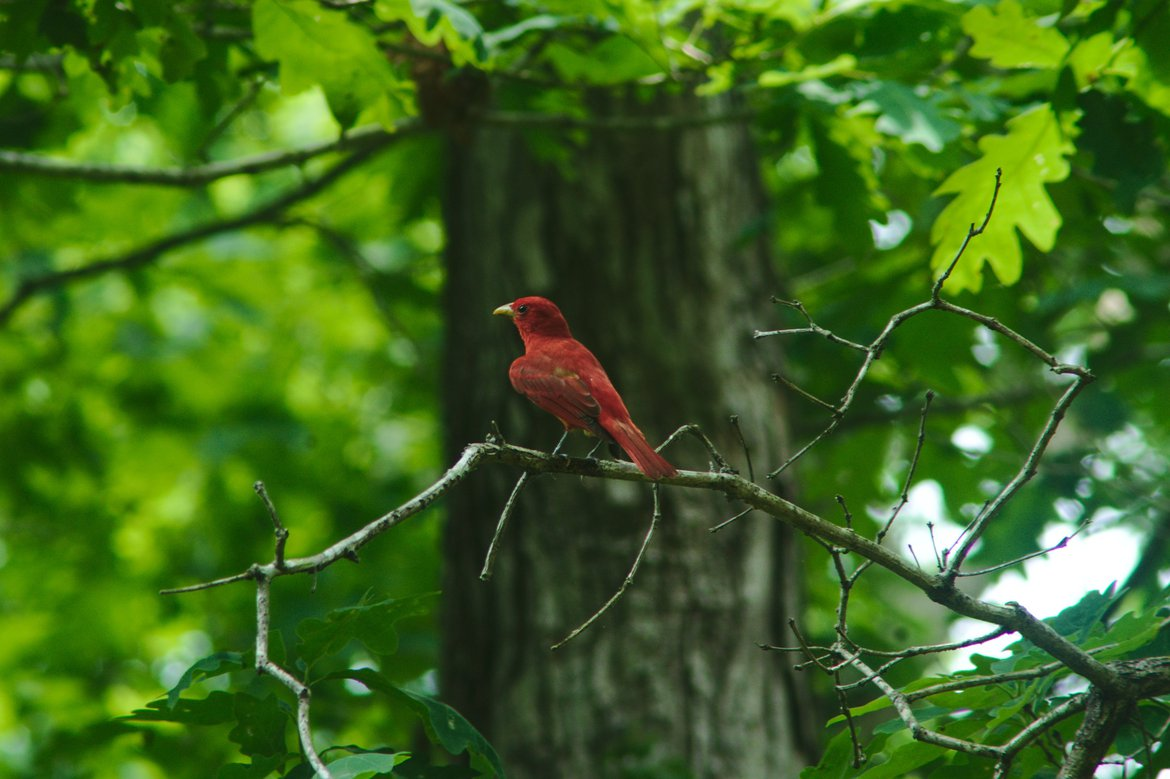 Summer Tanager, meriwether lewis campground photographed by luxagraf