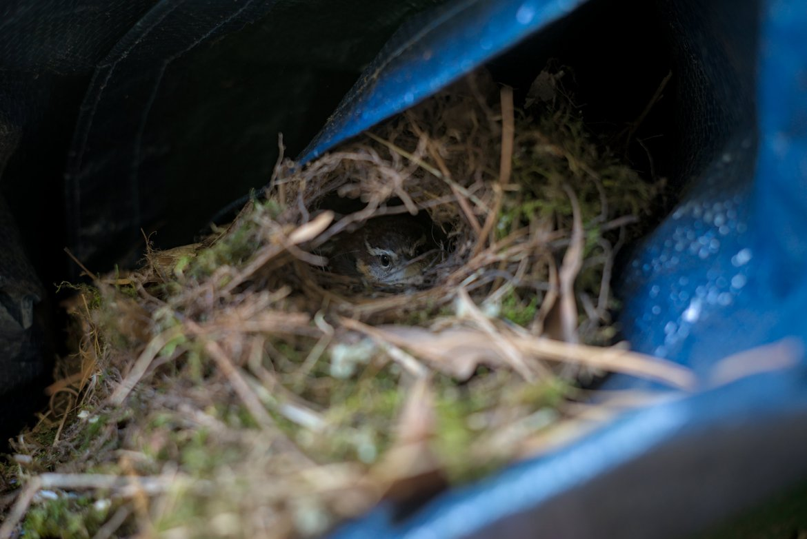wren sitting on her eggs in a nest photographed by luxagraf