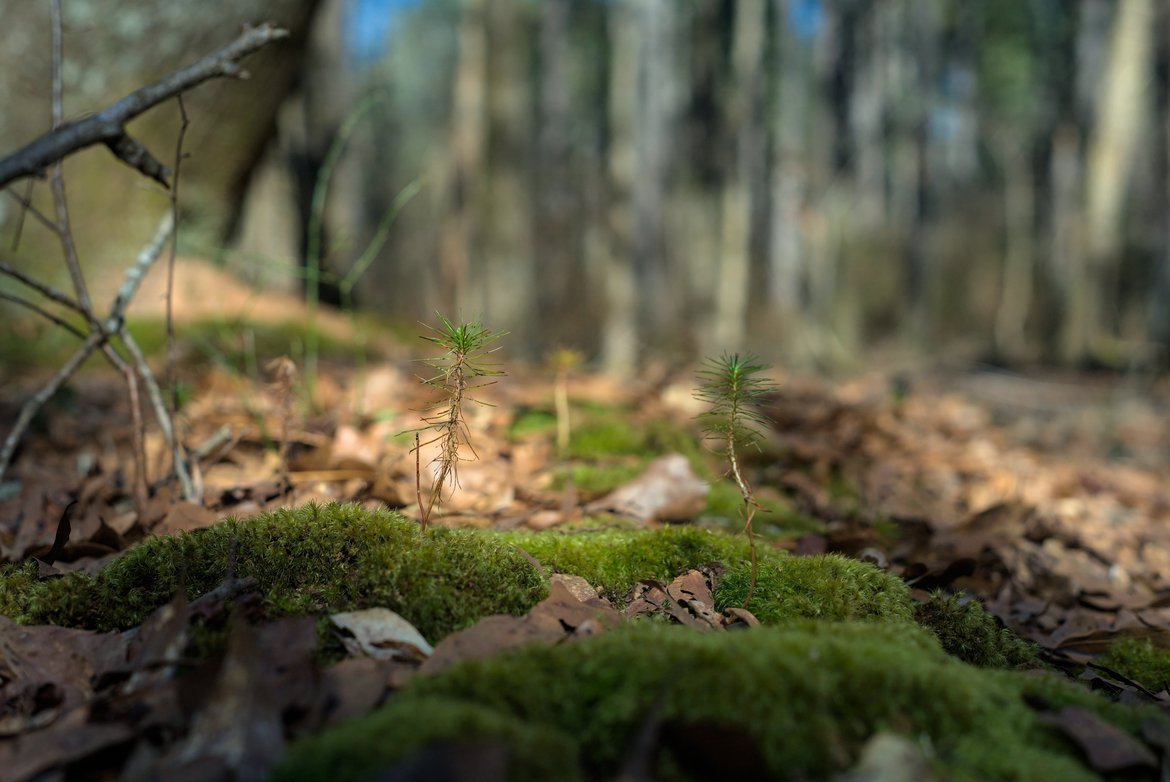 pine tree seedlings on the forest floor photographed by luxagraf