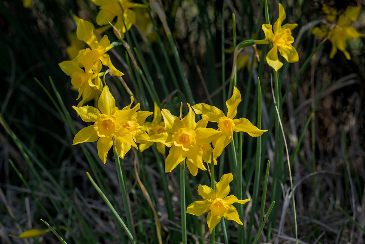 daffodils photographed by luxagraf