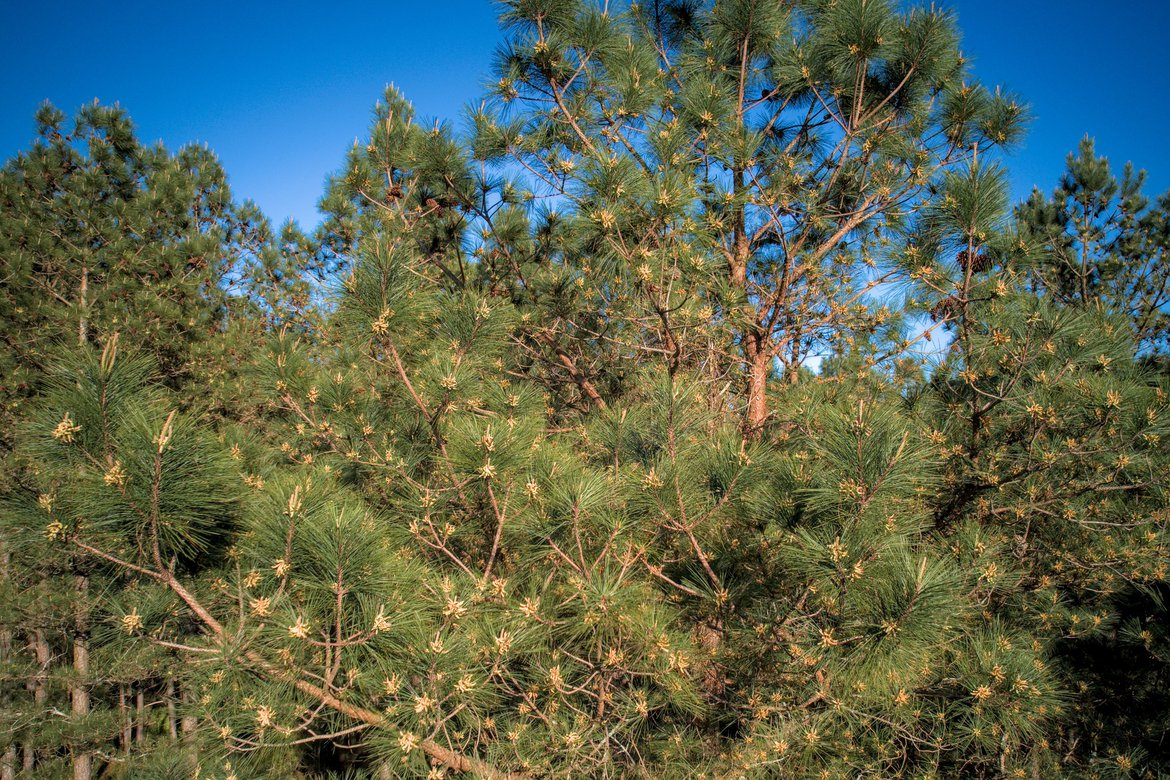 pine pollen cones in the tree tops photographed by luxagraf