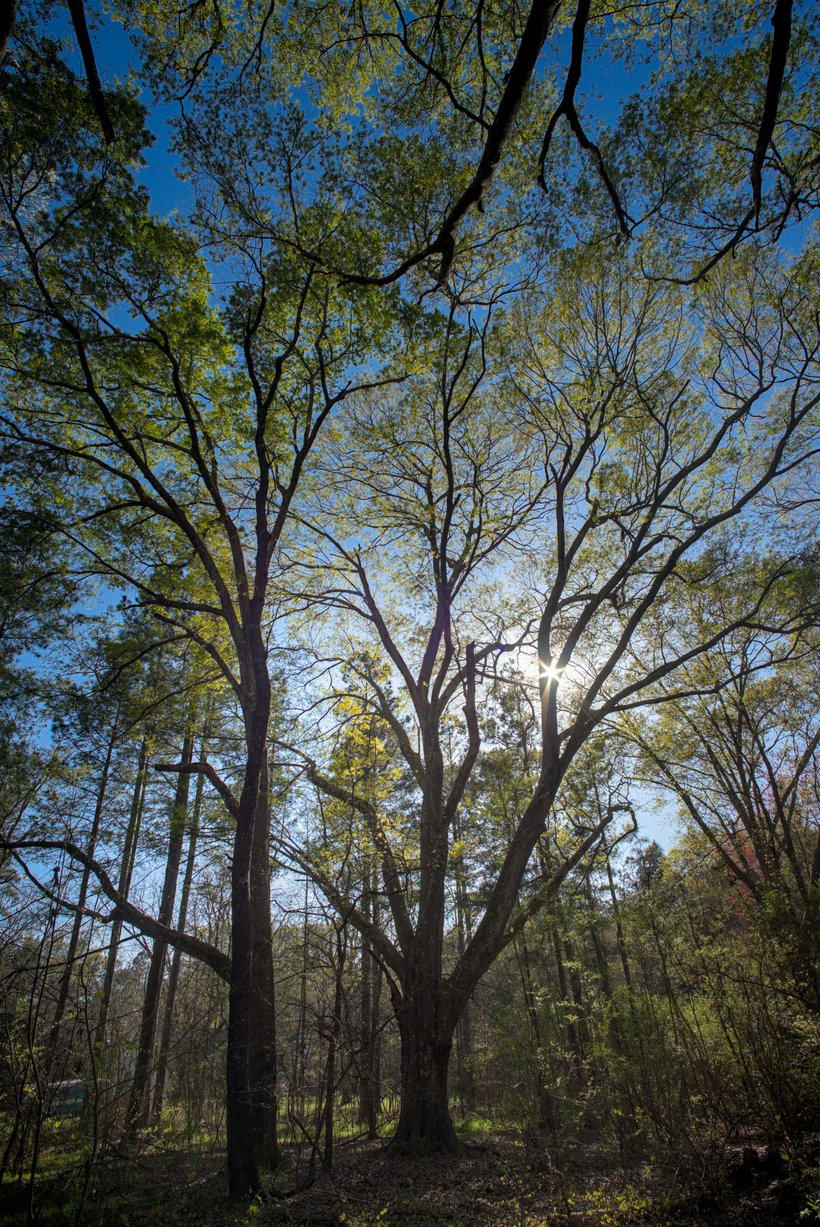 huge oak tree with sun shining through the branches photographed by luxagraf