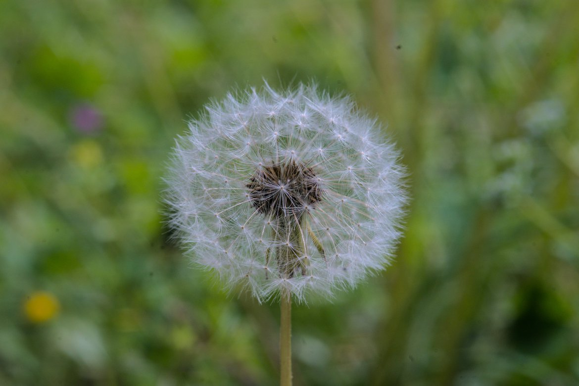 close up of a Dandelion photographed by luxagraf